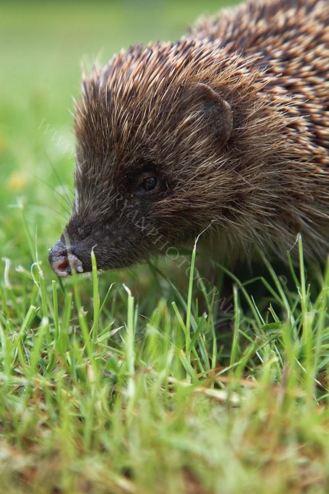 hedgehog0716.jpg