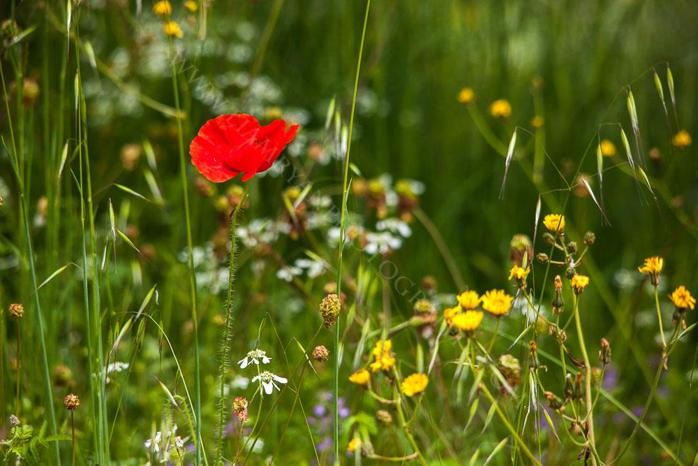 poppy8084.jpg