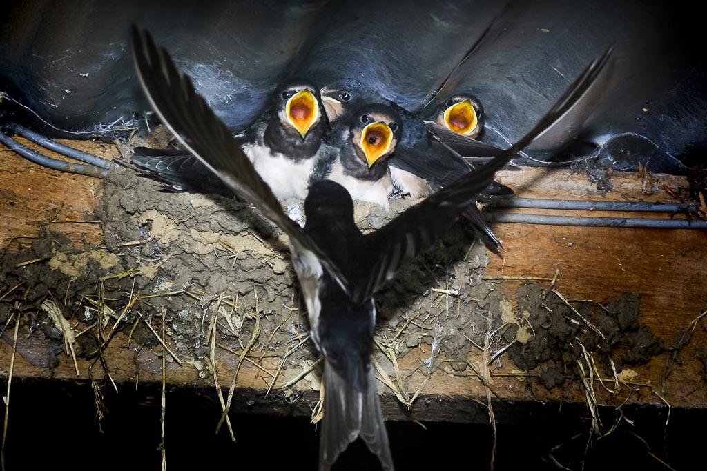 Swallows.jpg